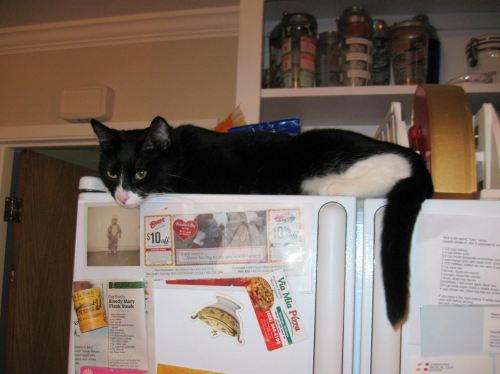 Trixie atop the fridge