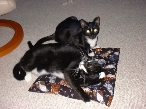 Felix sharing his catnip pillow with Oscar