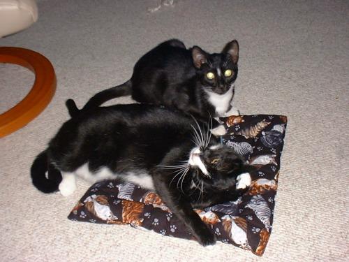Felix sharing his catnip pillow with Oscar